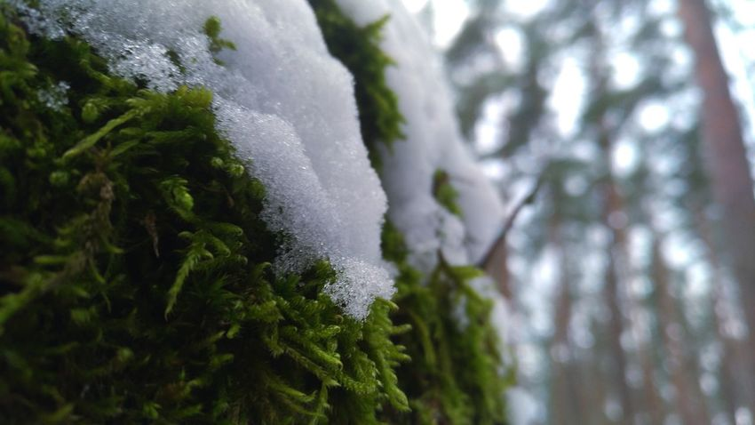 Frozen Nature Frozen Moss Snow Covered Moss Riga Forest Photography Forest Trees Mossy Moss Photography Woods Latvia Winter January Beautiful Wildlife Moment Cold Temperature Cold Winter ❄⛄ Coldplay Frozen In Time Landscape Naturephotography Nature Cold Temperature Ice Beauty In Nature Green Color Frozen Close-up Shades Of Winter