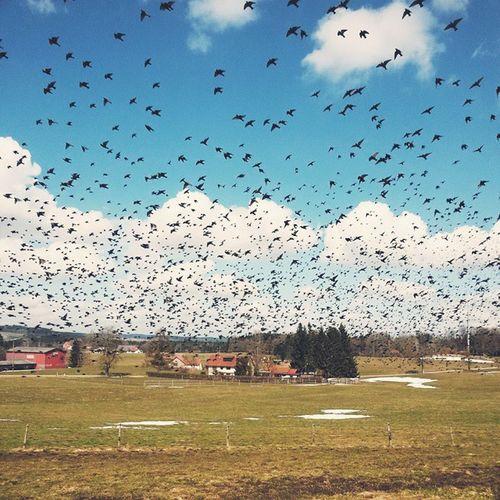 Flock of birds 2.0. Allgäu Kisslegg Heimat Birds