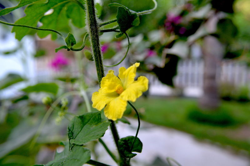 Close up of a flower in the garden in Manama, Bahrain Beauty In Nature Close-up Day Flower Flower Head Flowering Plant Focus On Foreground Fragility Freshness Growth Inflorescence Leaf Nature No People Outdoors Petal Plant Plant Part Selective Focus Vulnerability  Yellow