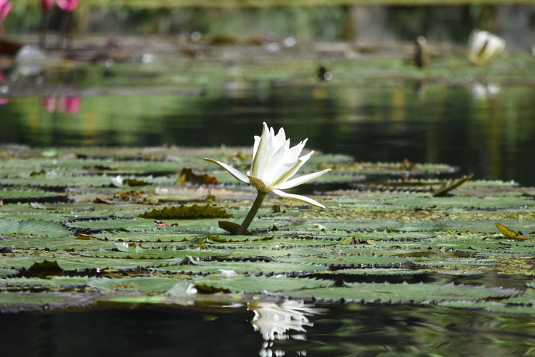 Green Color Beauty In Nature Close-up Day Floating On Water Flower Flower Head Fragility Freshness Green Color Growth Leaf Lily Pad Lotus Lotus Water Lily Nature No People Outdoors Petal Plant Pond Reflection Vitoria Regia Water Water Lily