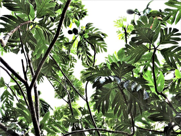 Beauty In Nature Branch Close-up Day Food Stories Green Color Growth Leaf Low Angle View Nature No People Outdoors Plant Sky Tree