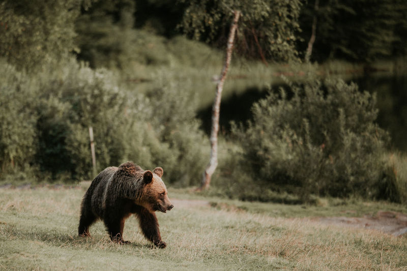 Bear in the wild