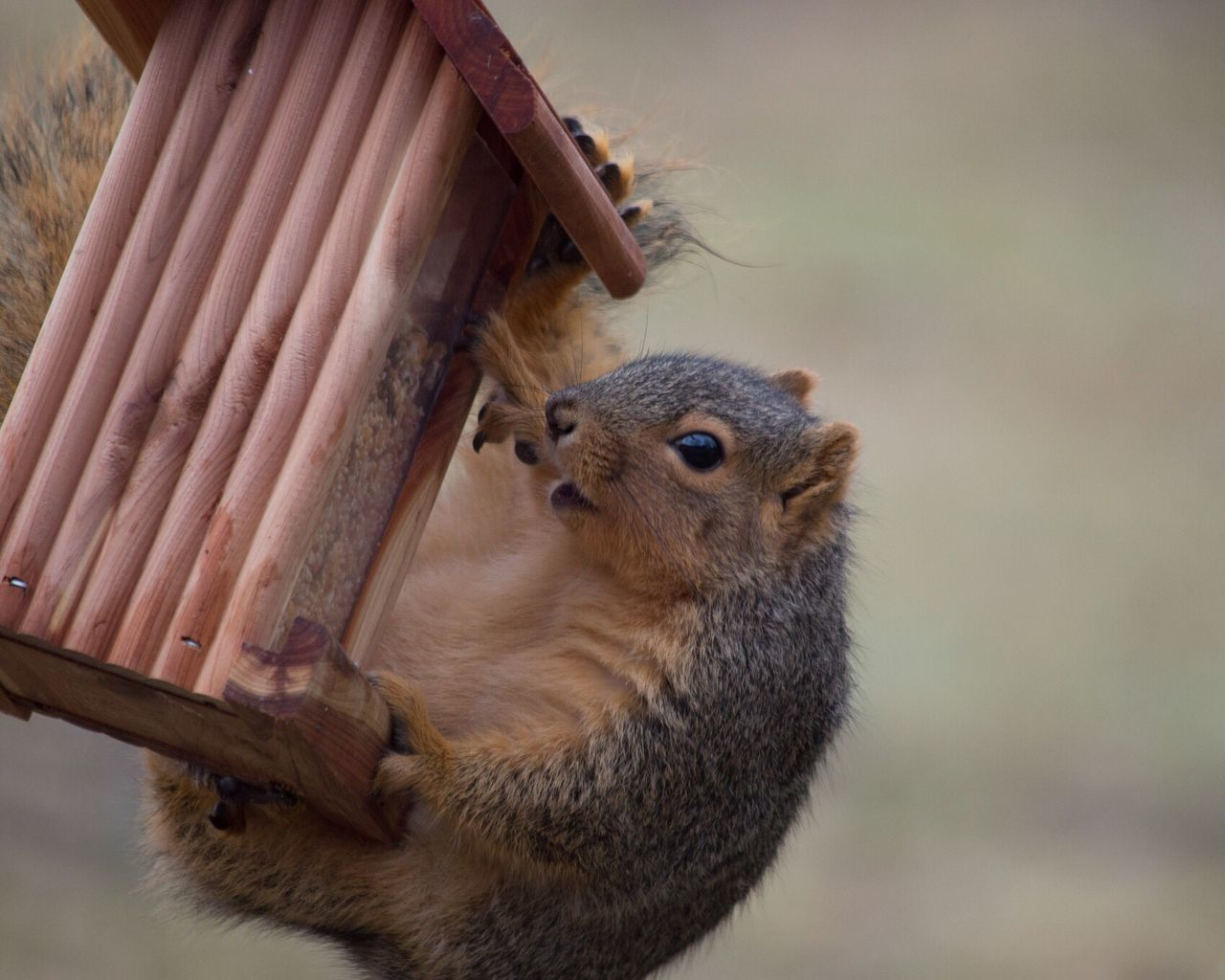 animal themes, animals in the wild, one animal, animal wildlife, no people, focus on foreground, mammal, day, close-up, squirrel, outdoors, eating, nature, bird