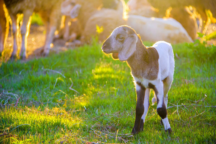 Small cute lamb