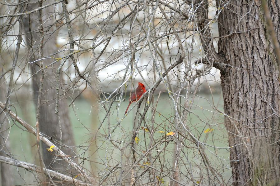 Nature Cardinal Red Bird Texas Showcase: January Perspectives On Nature