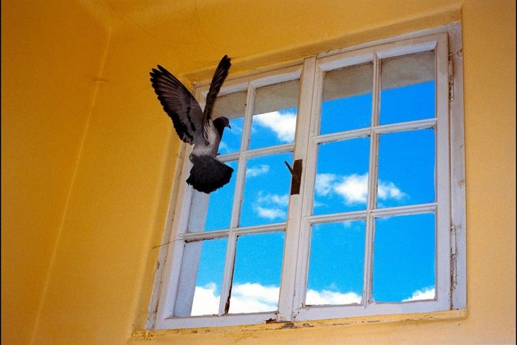 Pigeon Flying In Room With Closed Window