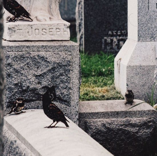 Animal Themes Text One Animal Bird Animals In The Wild Wildlife Zoology Graveyard Cemetery Day Ledge Perching Outdoors No People Footpath