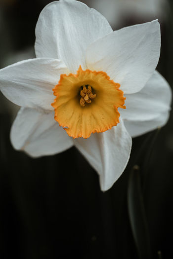 Close-up of white daffodil