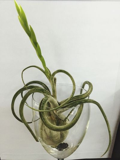 Plants 🌱 Airplant