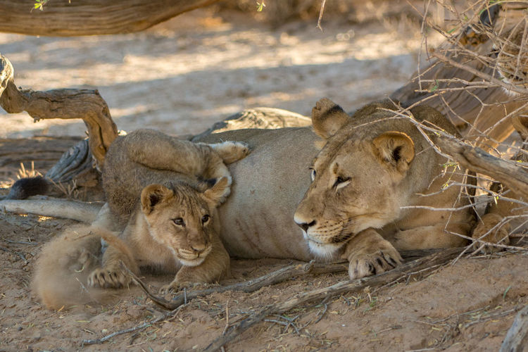 Desert Life EyeEm Nature Lover Wildlife Photography Animal Themes Animal Wildlife Animals In The Wild Day Kalahari Lion Kgalagadi Transfrontier Park Lion - Feline Lion Cub Lioness Mammal Nature No People Outdoors