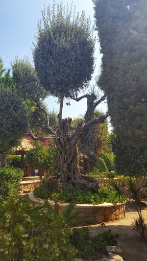 Olive Tree Olive Greece GREECE ♥♥ Greece Photos Leros Leros Island Green Color Tree Water Sky Close-up Growing