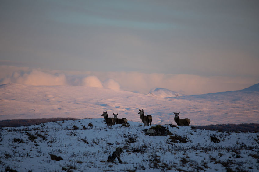 Deer Scotland Animal Animal Themes Beauty In Nature Cold Temperature Domestic Domestic Animals Field Group Of Animals Herbivorous Land Livestock Mammal Nature No People Outdoors Pets Scenics - Nature Sky Snow Snowcapped Mountain Venison  Vertebrate Winter