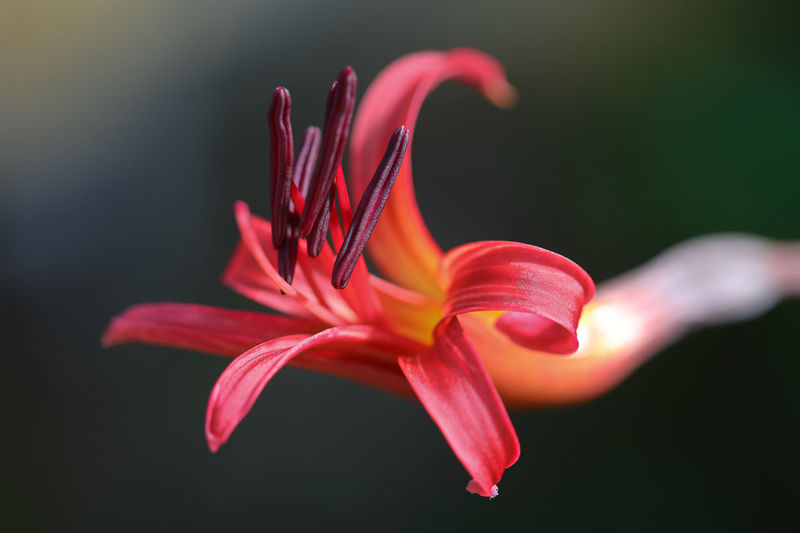 Close-Up Of Red Lily