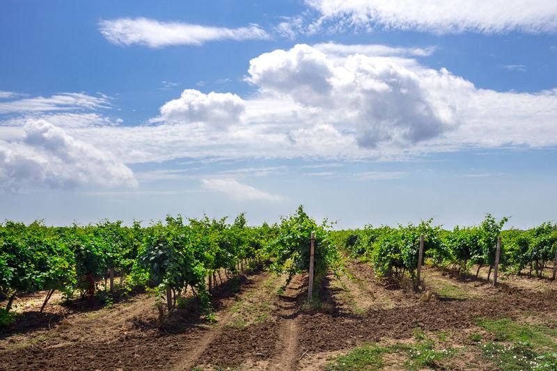Vineyard against sky