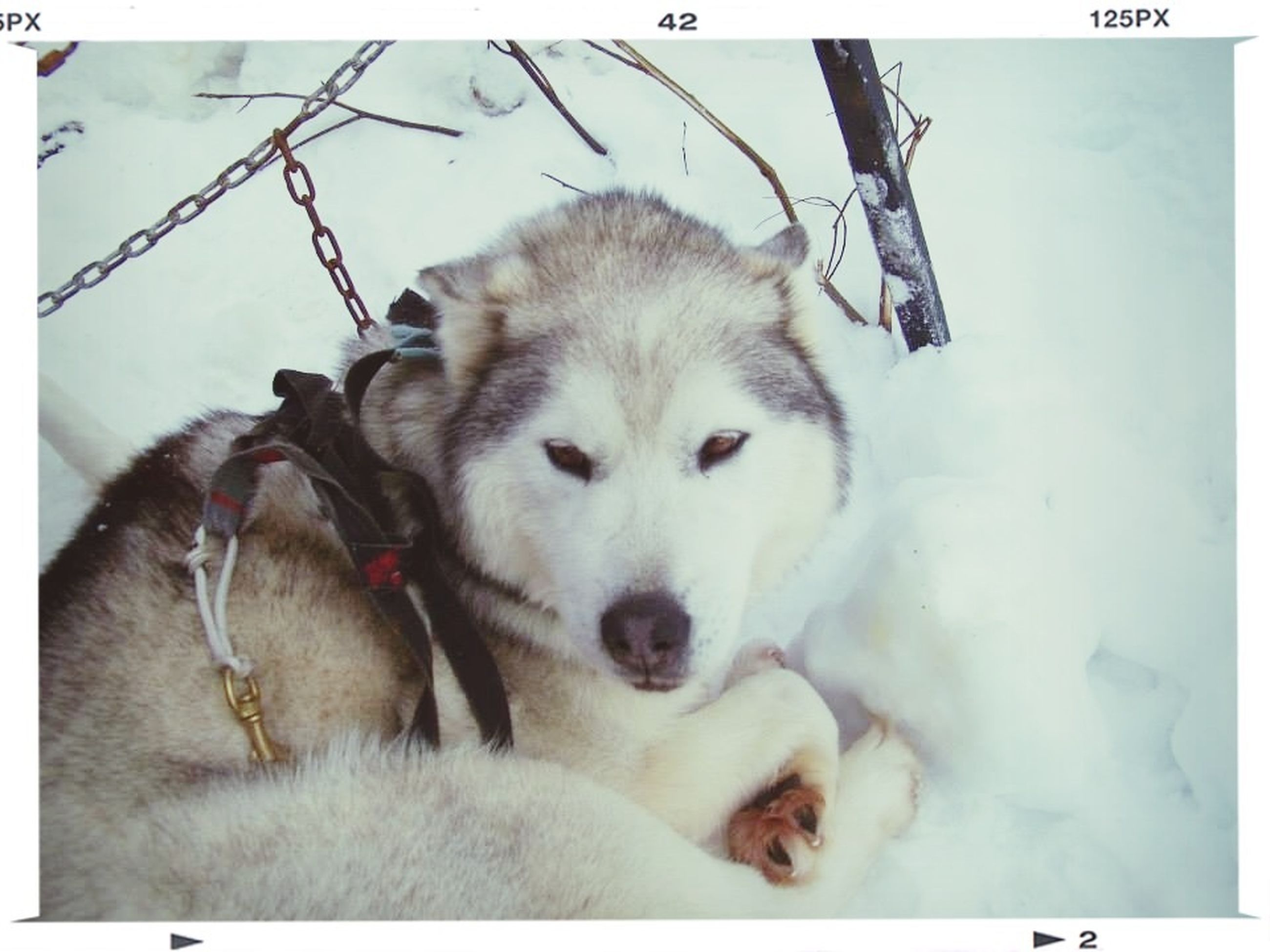 animal themes, domestic animals, transfer print, mammal, pets, one animal, auto post production filter, dog, looking at camera, portrait, snow, white color, day, two animals, close-up, young animal, relaxation, togetherness, winter, no people