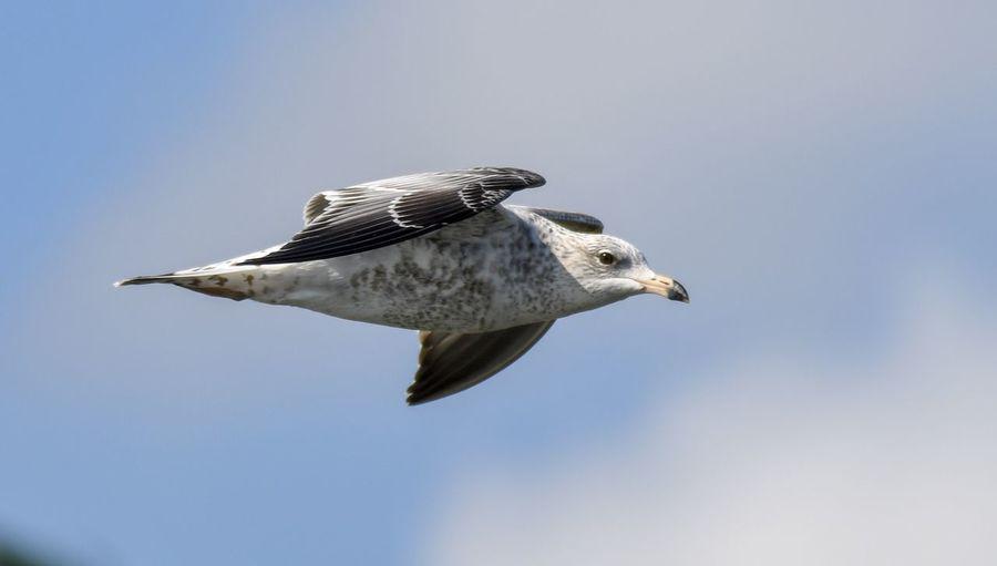 Ringed bill gull Bird Animals In The Wild Vertebrate Animal Animal Themes Animal Wildlife One Animal