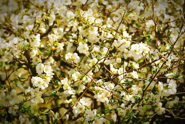 ボケの花 💐 名前がツライ〜 Japanese Quince EyeEmNewHere EyeEm Nature Lover Plant Flower Flowering Plant Growth Beauty In Nature Tree Freshness Springtime White Color