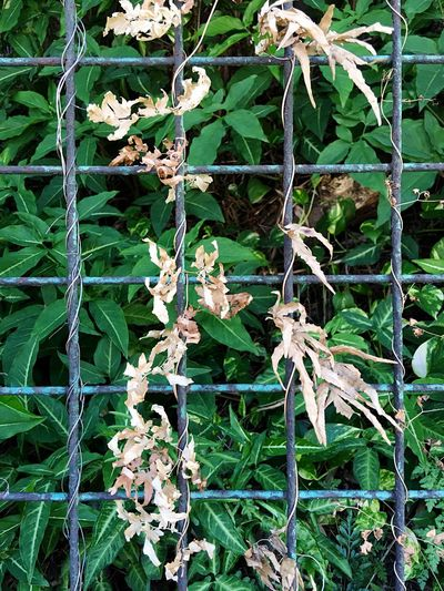 Sunlight, Shades And Shadows Sun And Shadow Street Photographer-2016 Eyem Awards Green Leaves Flowers, Nature And Beauty Steel Fence IPhoneography Light And Shadow
