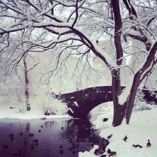 """Chilled Duck"" Winter Wonderland Winter Ducks Pond Central Park NYC Urbanpark Landscape Bridge Bnw_friday_eyeemchallenge Bnw_collection Bnw_captures Bnw Bnwphotography Birds Snow Wintertime Cold Temperature Winter Trees"