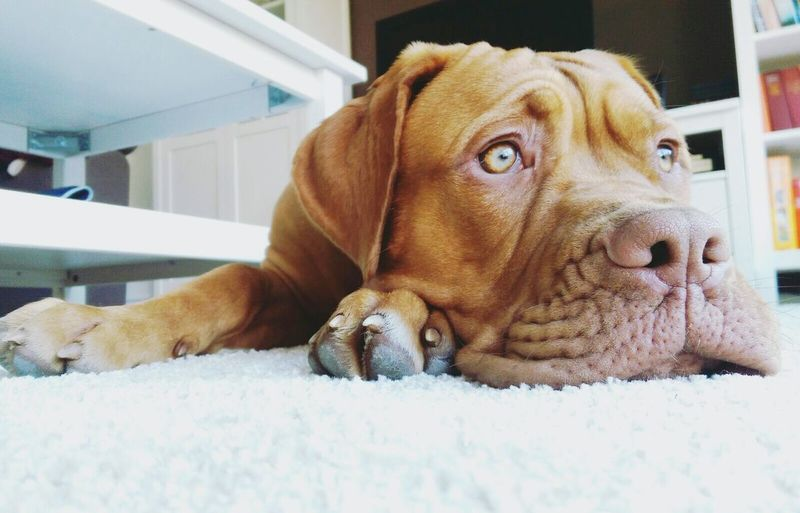 Close-up of dog relaxing on carpet at home