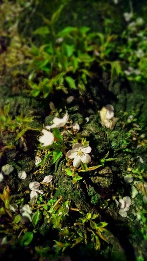 Japan Photography Tokyo,Japan Streetphotography Andrography Flowers 道草 Cherry Blossom Justlittlethings