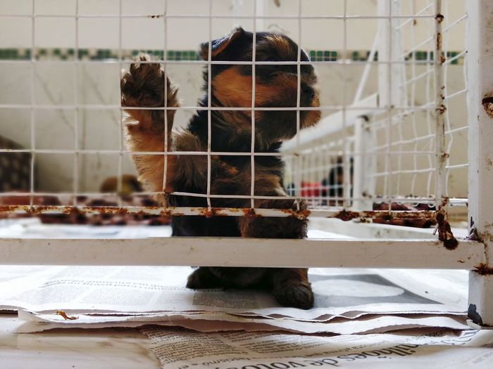Yorkshire Yorkshire Terrier Dog Puppy Pet Prison Prisoner Trapped Cage Confined Space Animals In Captivity Dog Lead Canine
