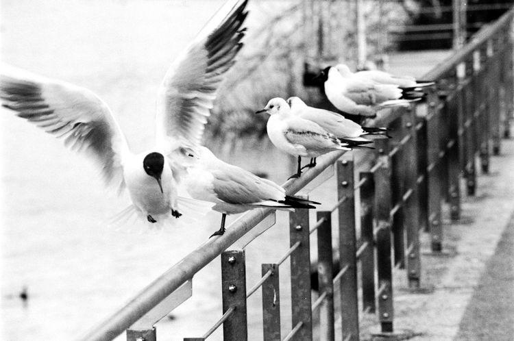 Location: Uferstraße Canon AE-1 P | APX 100 -> 200 | D-76 AgfaPhoto APX 100 (new) Bird Blackandwhite Canon AE-1 Program  EyeEm Best Shots - Black + White Kodak D-76 Monochrome Spread Wings