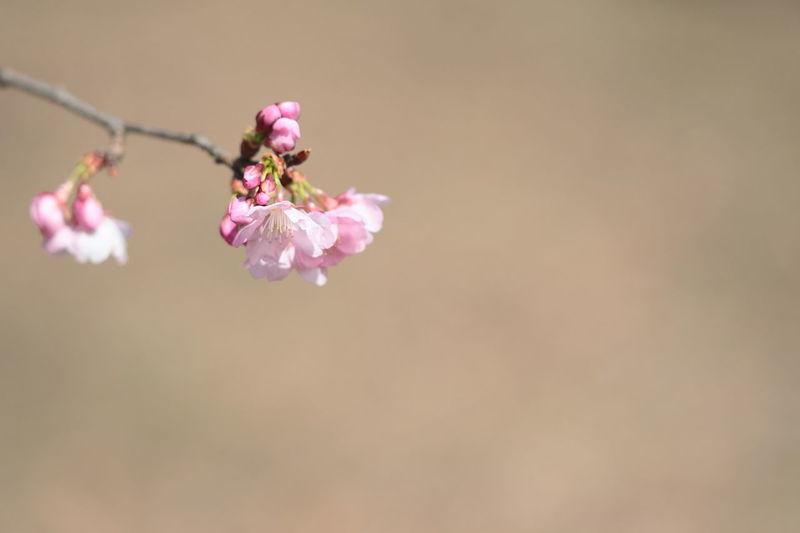 河津桜 EyeEm Selects Bud EyeEm Flower EyeEm Nature Lover Pink Flowers Flower Perching Flower Head Pink Color Insect Springtime Petal Close-up Plant Cherry Blossom Cherry Tree
