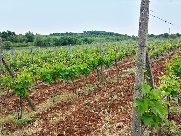 Wineyard Wine Tasting Taking Photos Winecountry Winelover Wineroad Montenegro