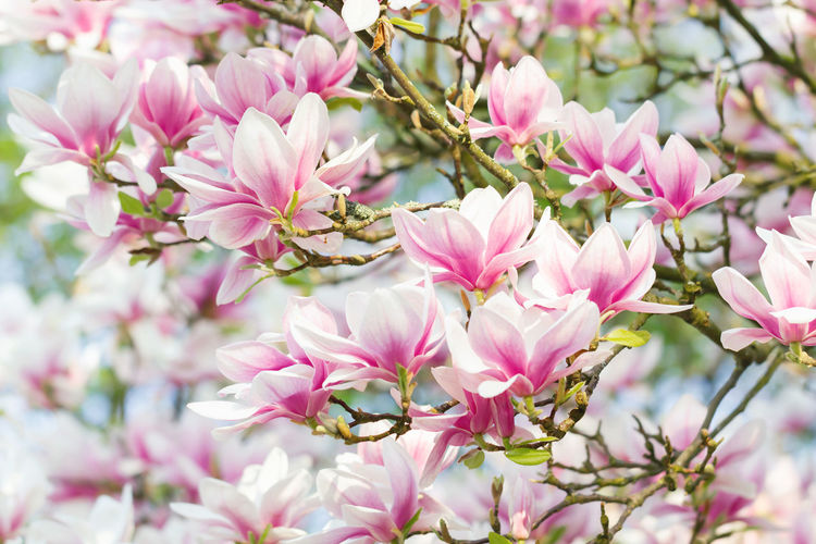 Beautiful Magnolia, Lüneburger Heide Northern Germany Magnolia Branch Tree Freshness Blossom Bloom Flower Beauty In Nature Vulnerability  Springtime Growth Pink Color Red Magenta Green Petal Close-up No People Inflorescence Outdoors Spring Magnolie Magnoliaceae Sunlight Romantic