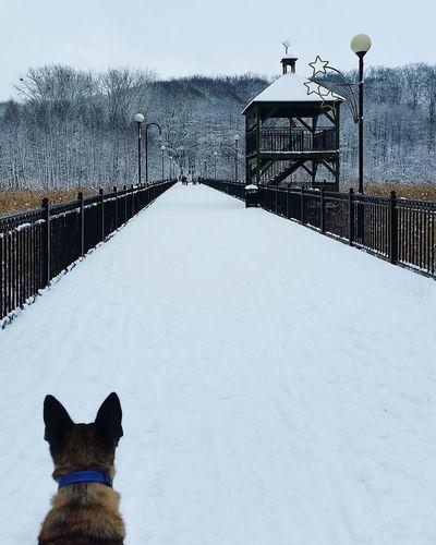 Indi Sheperd Dutchshepherd Park Winter Outdoors