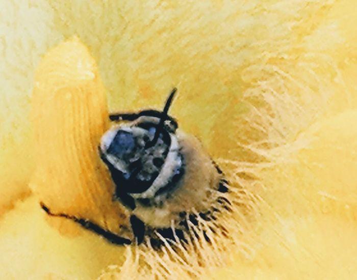 Honeybee in flower Pollen Honey Bee Bee Pollination Pollinators Pollination In Action Pollination,honey Bee, Stamen Stamen Of The Flower Yellow Insect Close-up Animal Themes Bumblebee Pistil Buzzing Animal Antenna