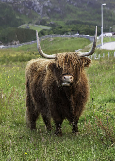Highland cattle in a field