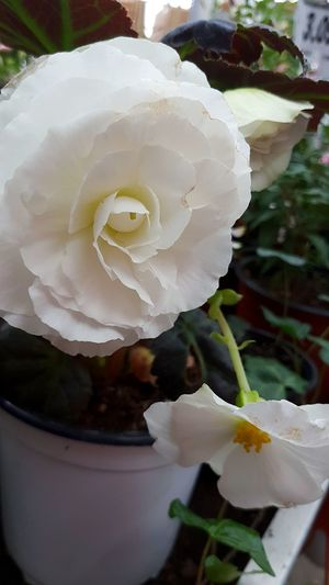 White Color Flower White Flower Nature Plant Rose - Flower Petal Growth Water Beauty In Nature