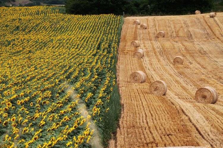 Straw Bales Straw Bales And Sunflowers Farmland Taking Photos Farmlandscape Nature Photography From My Point Of View Flowers And Nature Summertime Summertime Views
