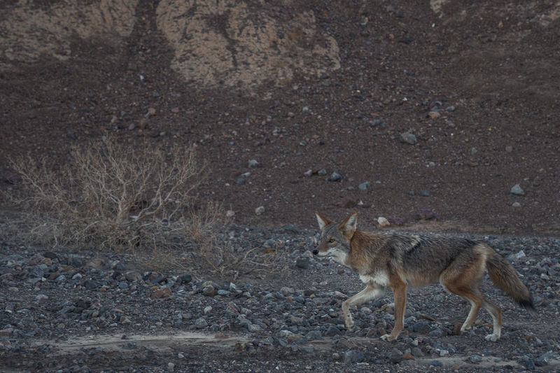 One Animal Animals In The Wild No People Outdoors Coyote Fox