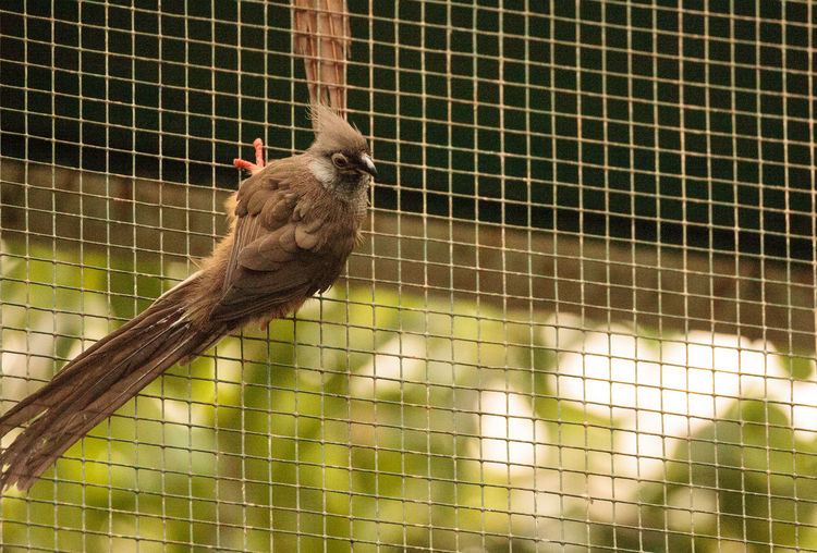 Speckled mousebird called Colius striatus is found in Ghana, Ethiopia and Tanzania. Colius Striatus Animal Themes Animal Wildlife Animals In Captivity Animals In The Wild Bird Birdcage Cage Close-up Confined Space Day Mammal Monkey Mousebird Nature No People One Animal Outdoors Perching Speckled Mousebird Trapped Tree