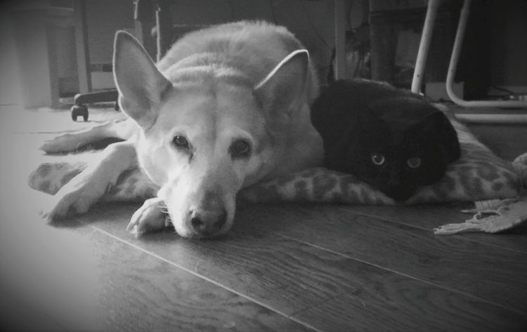 Looking At Camera Animal Themes One Animal Portrait Mammal No People Domestic Animals Indoors  Close-up Animal Body Part Pets Day Old Friends Affectionate Togetherness Lying Down Beauty Feline Domestic Cat Dog Indoors  Relaxation Animal Always Be Cozy