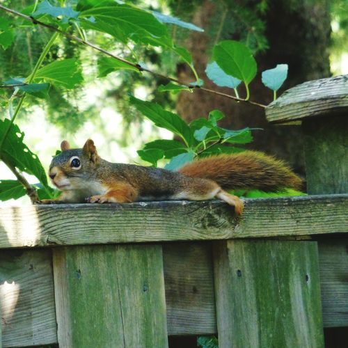 I'm just gonna chill here... Animal Themes One Animal Wildlife Squirrel Tree Animals In The Wild Nature Photography Outdoors Nature Red Squirrel Wildlife & Nature Backyard Photography Backyard Critters Animal Animals In The Wild Animals Collection Squirrel Closeup