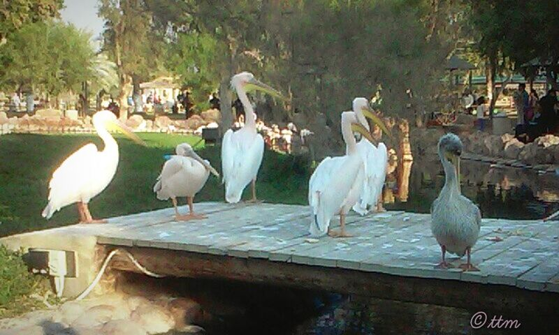 Zoo Pelicans Birds Alareen Manama