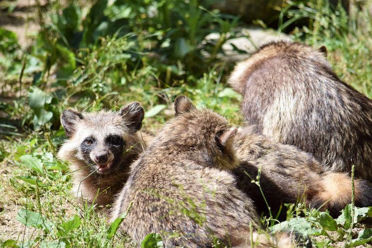 Japan Japanese Raccoon Dog Zoo Animal Animal Family Group Of Animals Looking At Camera Raccoon Dog Raccoon Lover