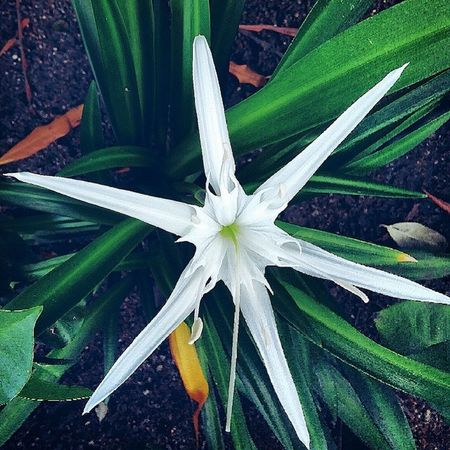 A new addition To The Garden. 👏 Sowhite Whiteflower NameYetToBeLearned Green Col BlackSoil Lovethisone FlowersAreSpecialty Loveit Flowers Instalike Instapic Onedirection Tags4like Follow4follow