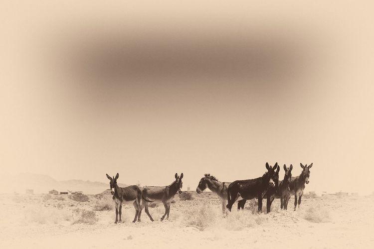 Burro chasing. Mammal Animal Animal Themes Animal Wildlife Group Of Animals Animals In The Wild Domestic Animals Desert Land Landscape Sand Nature