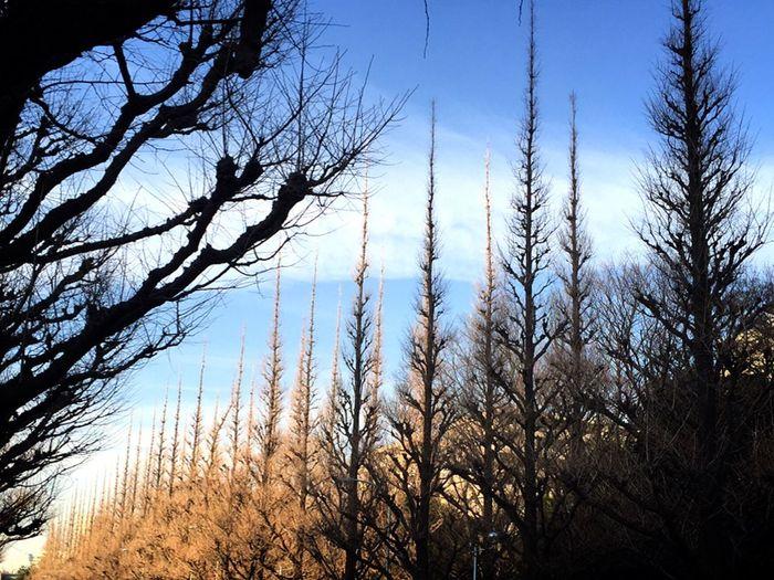 Nature Sky Tree Cloud Tree Trees Walking Path 並木道 空 木 散歩道 明治神宮外苑 青山 Meiji Jingu Gaien