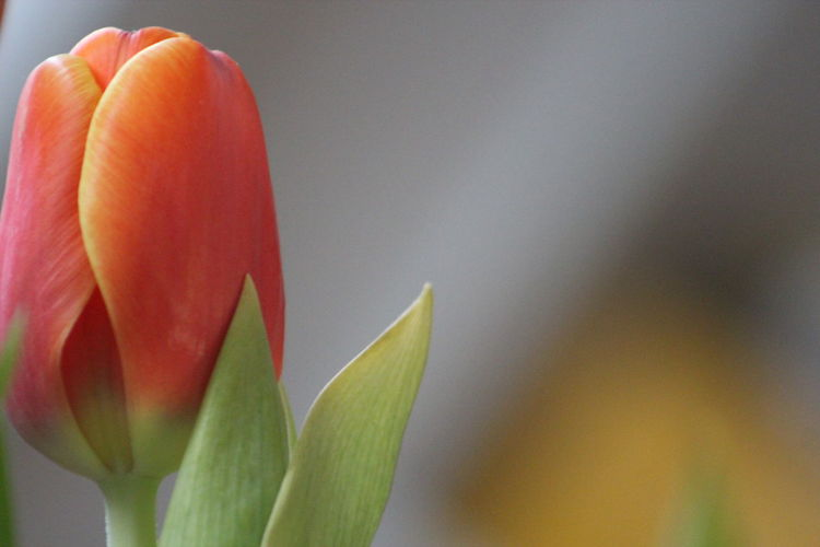 Beauty In Nature Hugged Touch Grey Orange Tulip Blurred Backgrounds Coral Colored Tulip Leaves Yellow Color Harmony Gift Quotation Postcard Day Femininity Purchase Market Marketplace Waiting Opening Possibility Getting Old Fresh Or Not