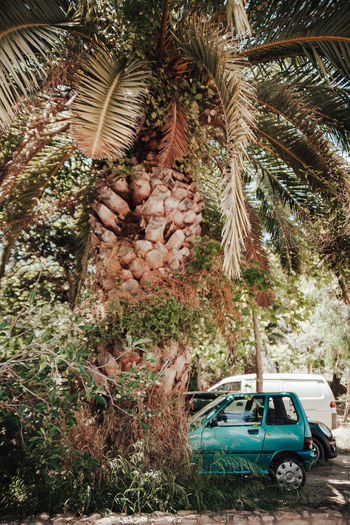 Car Coniferous Tree Day Food And Drink Growth Land Land Vehicle Mode Of Transportation Motor Vehicle Nature No People Outdoors Palm Tree Plant Tranquility Transportation Travel Tree Tree Trunk Tropical Tropical Climate Trunk