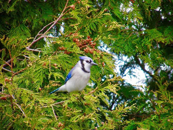 Blue jay perched on the evergreen tree branch birdwatching Birds of EyeEm beauty in nature animal themes outdoors Animal Wildlife One Animal Tree Low Angle View