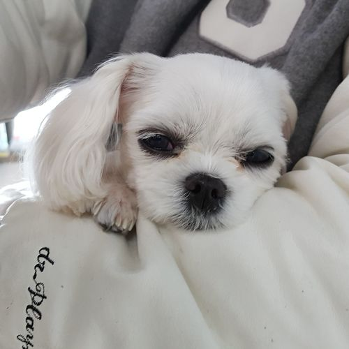 Pets Portrait Dog Looking At Camera Puppy Lying Down Cute Young Animal Nose Protruding Shih Tzu Animal Eye Lap Dog