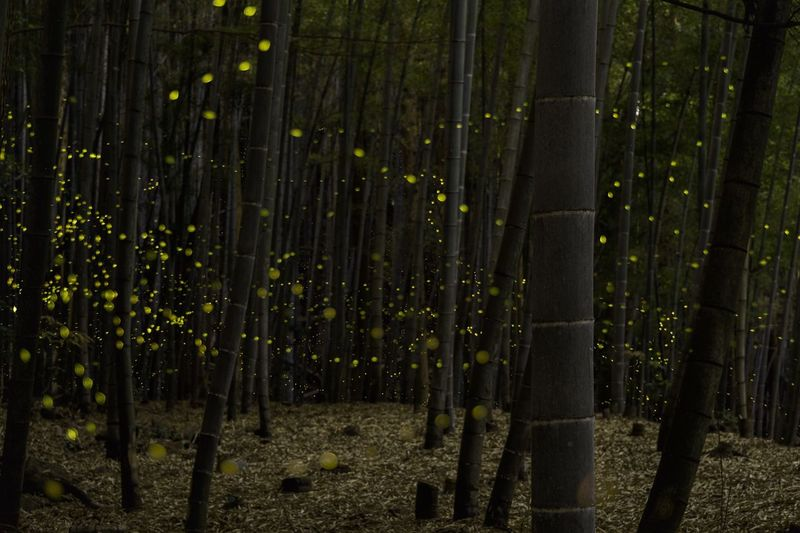 Long Exposure Forest No People Nature Firefly Japan Eye Em Nature Lover Bamboo Grove Bamboo - Plant Beauty In Nature Night