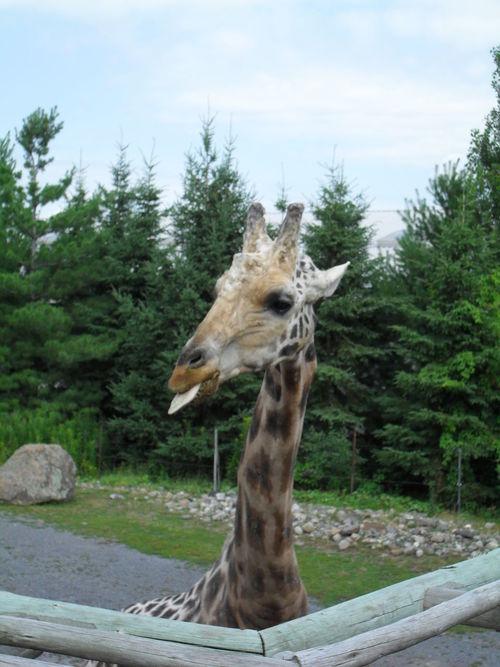 Giraffe Giraffe♥ Granby Zoo One Animal Zoo Zoo Animals  Zoo De Granby ZOO-PHOTO Granby Zoodegranby Grimace Tongue Tongue Out Tongueout Tongue Out :p Tongueshots Tonguepics Tongue!!!!! Animal Tongue Enjoy The New Normal